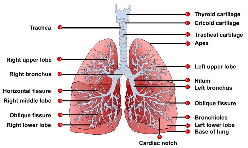 Anatomía de los pulmones stock de ilustración