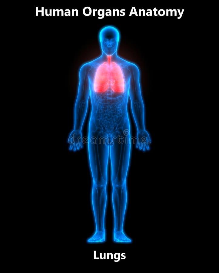 Anatomía De Los Pulmones De Los órganos Del Cuerpo Humano Stock de ...