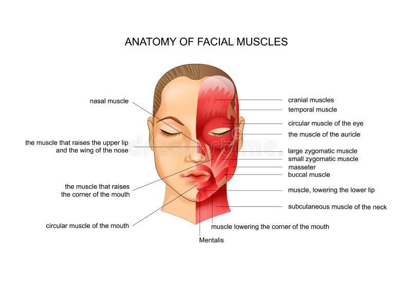 Anatomía de músculos faciales stock de ilustración
