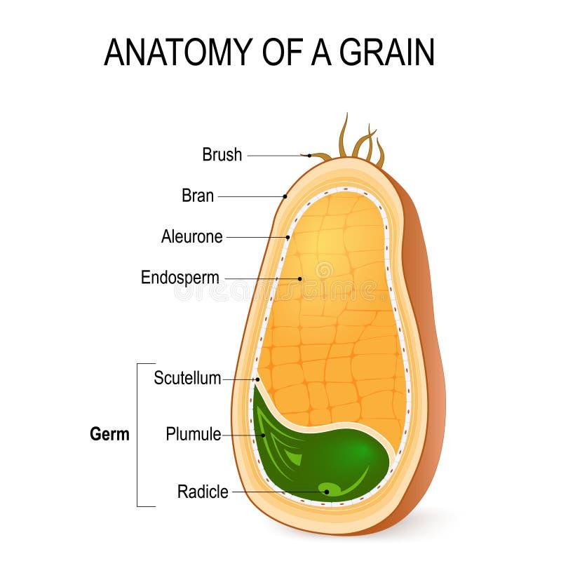 Anatomía de un grano dentro de la semilla stock de ilustración