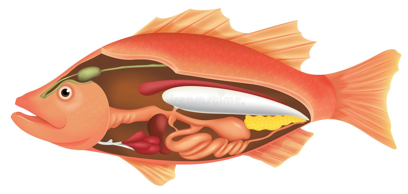 Anatomía de un pescado stock de ilustración