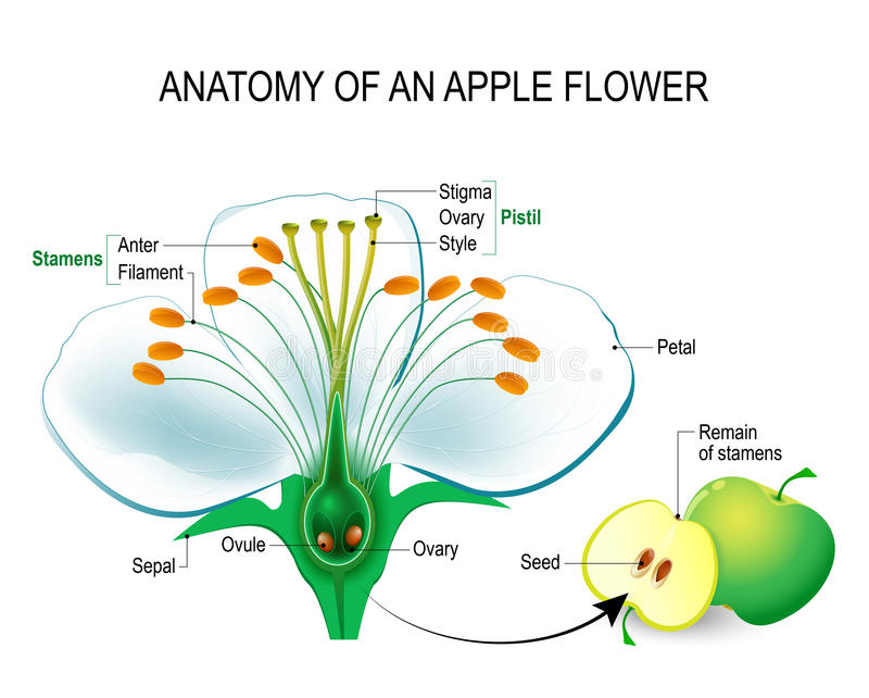 Anatomía de una flor de la manzana stock de ilustración