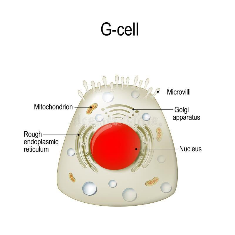 Anatomía de una G-célula gastrin stock de ilustración