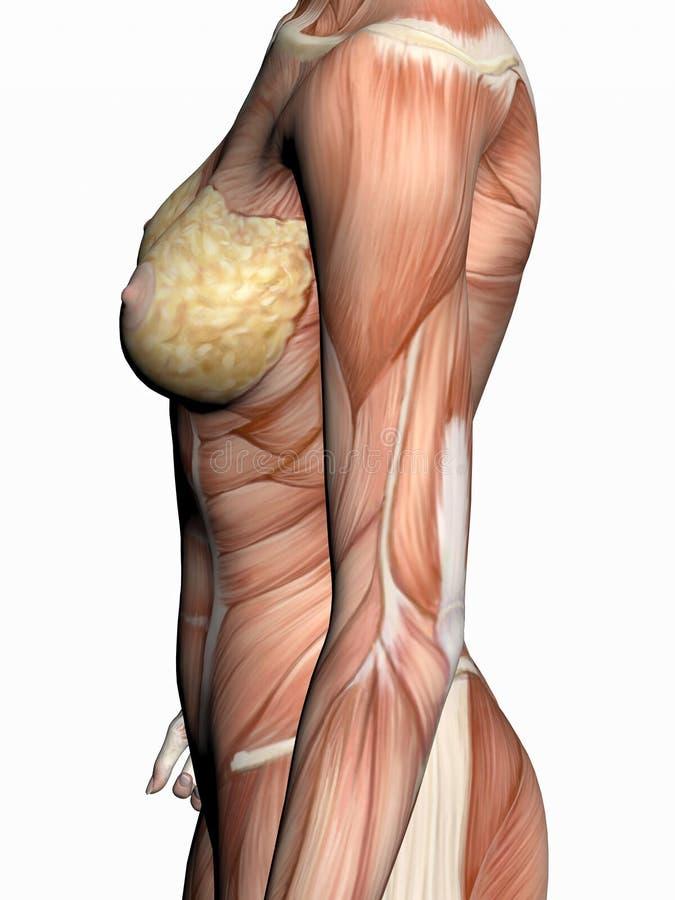 Anatomía de una mujer. stock de ilustración