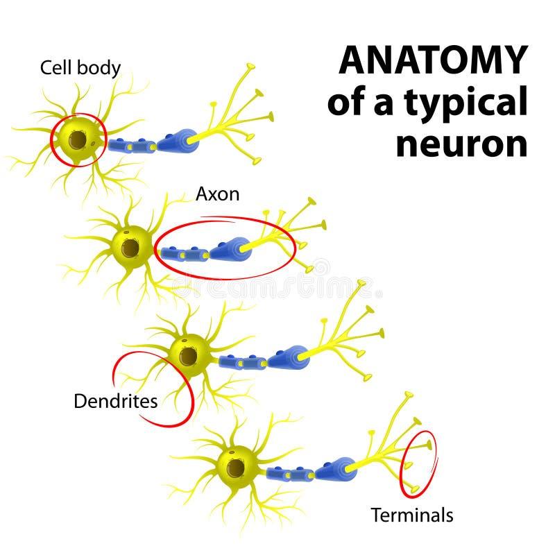Anatomía de una neurona típica stock de ilustración