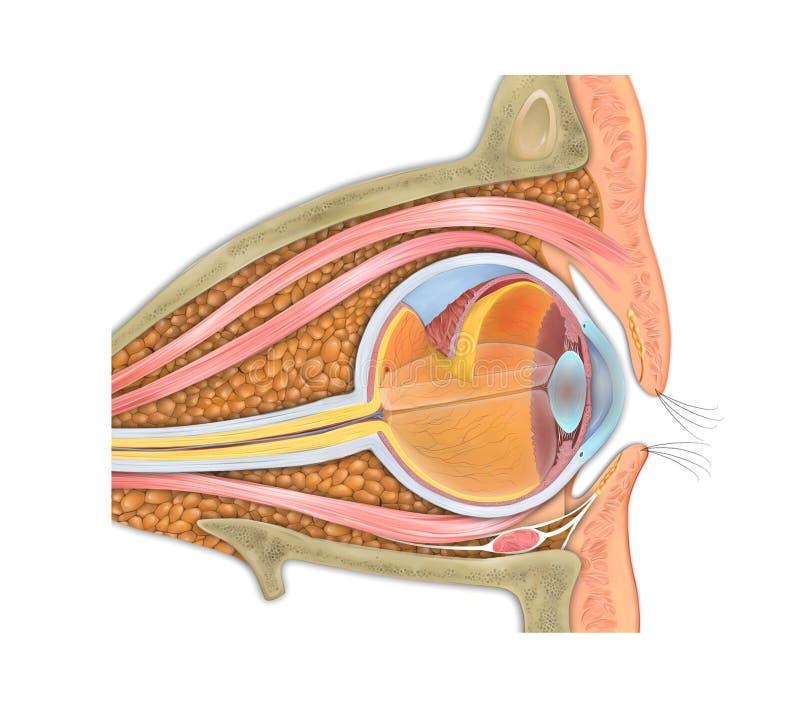 Anatomía del aparato del ojo humano y de la representación visual stock de ilustración