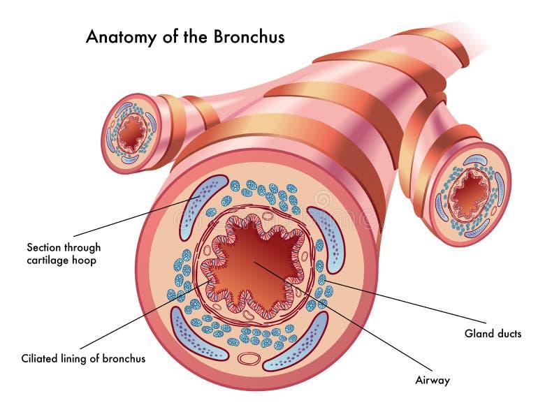Moderno Bronquio Elaboración - Imágenes de Anatomía Humana ...