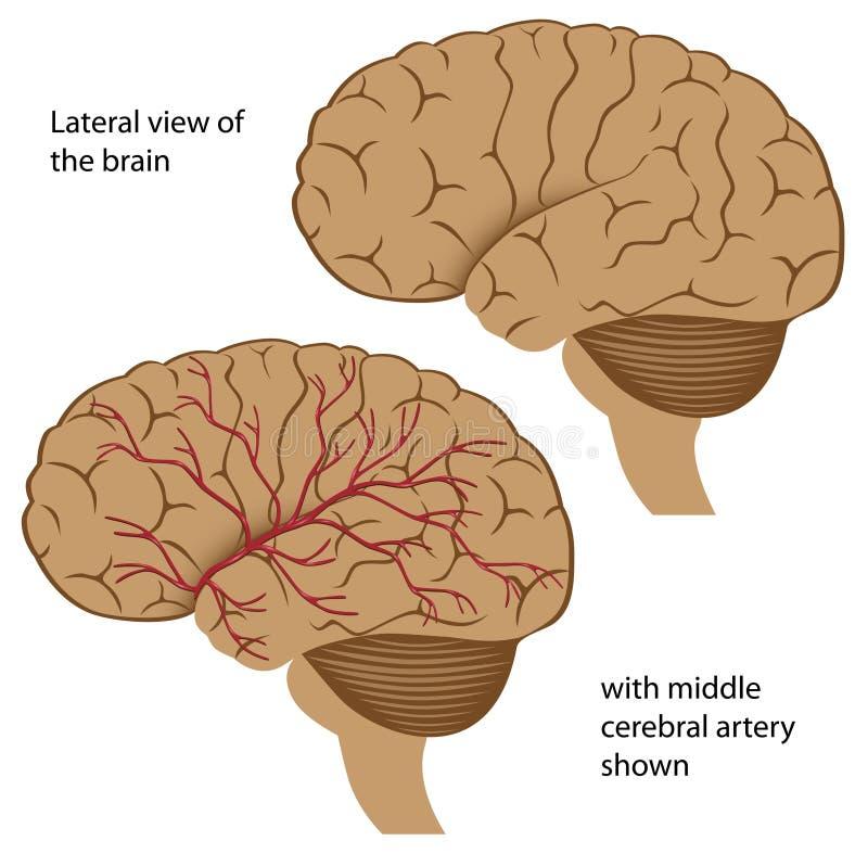Anatomía del cerebro stock de ilustración