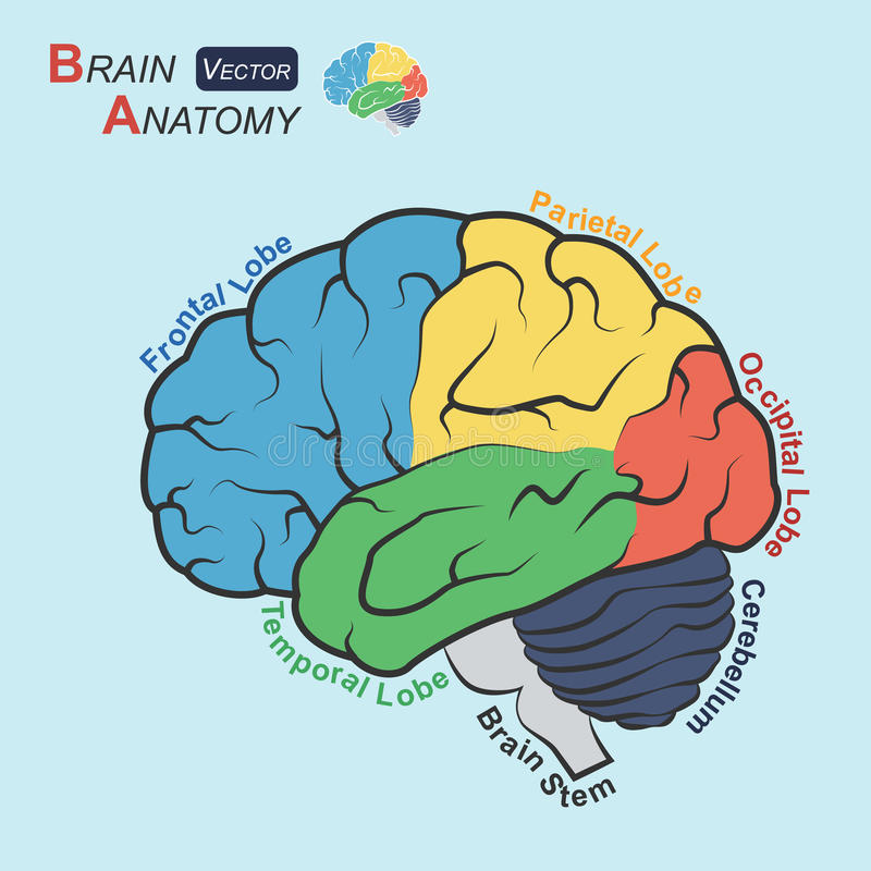 Anatomía del cerebro (diseño plano) (lóbulo frontal, lóbulo temporal, lóbulo parietal, lóbulo occipital, cerebelo, tronco del enc stock de ilustración