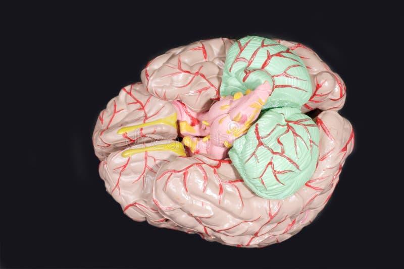 Anatomía del cerebro humano foto de archivo libre de regalías