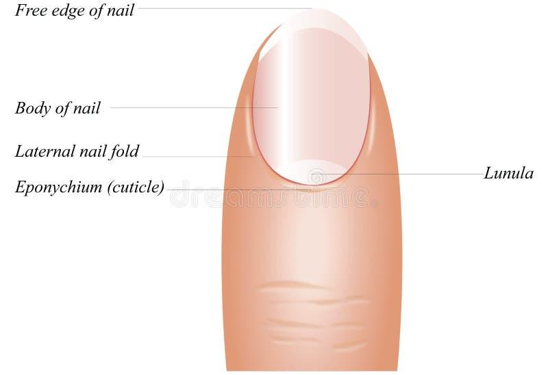 Anatomía del clavo del dedo ilustración del vector