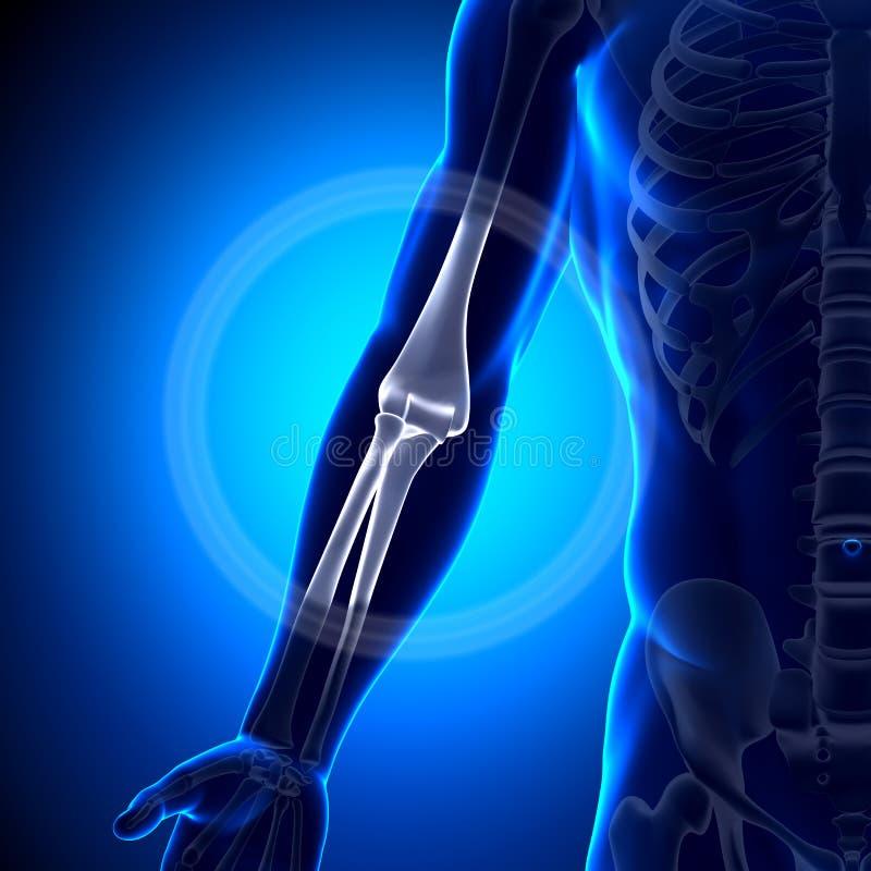 Anatomía del codo - huesos de la anatomía ilustración del vector