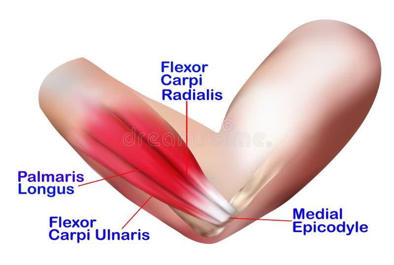 Anatomía del codo lateral stock de ilustración. Ilustración de ...