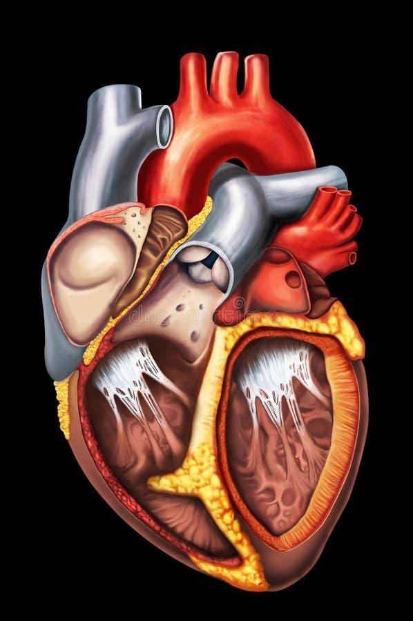 Anatomía del corazón stock de ilustración. Ilustración de aorta ...