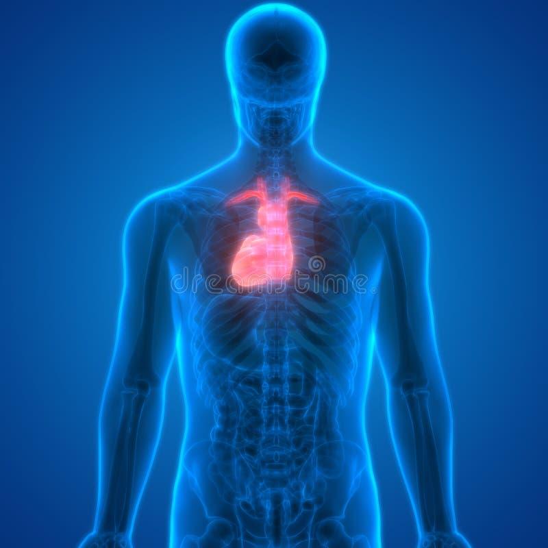Anatomía Del Corazón De Los órganos Del Cuerpo Humano Stock de ...