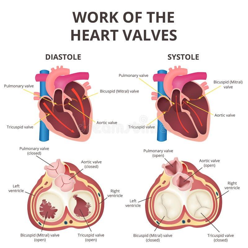 Anatomía del corazón humano ilustración del vector