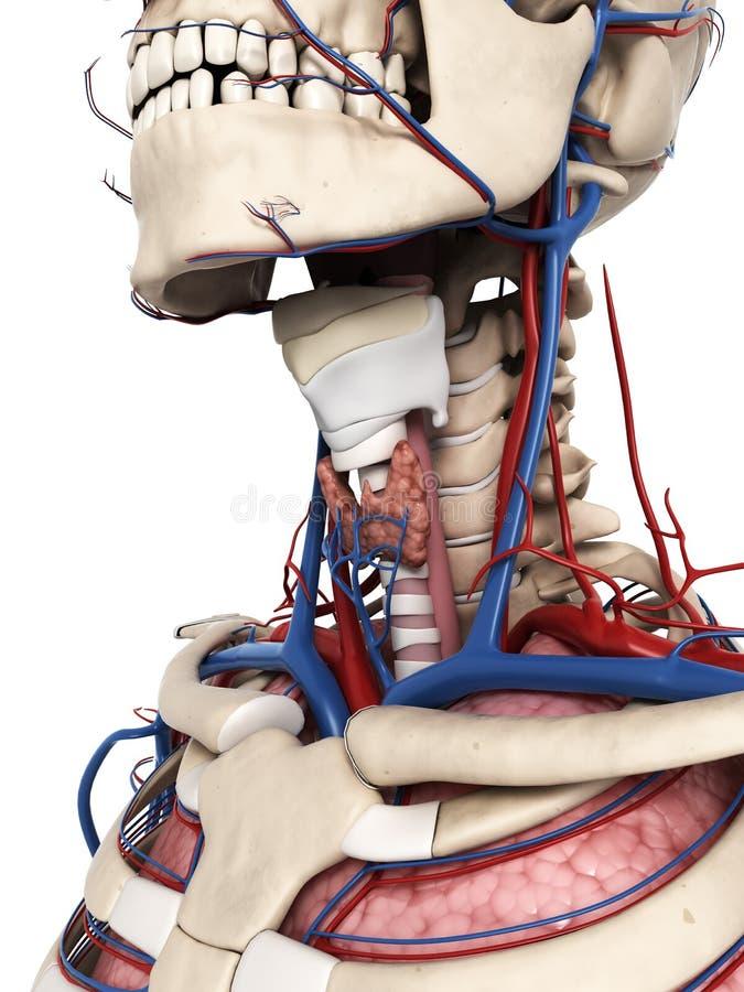Anatomía del cuello stock de ilustración. Ilustración de fisiología ...
