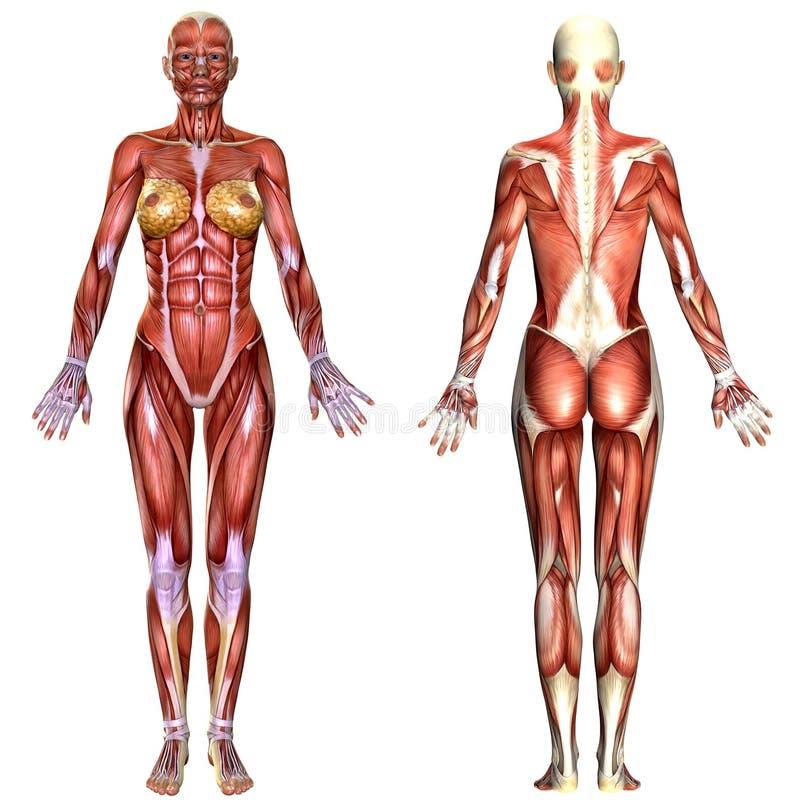 Anatomía Del Cuerpo Femenino 3D Stock de ilustración - Ilustración ...