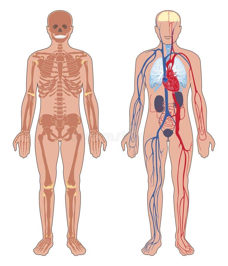 Anatomía del cuerpo humano. stock de ilustración