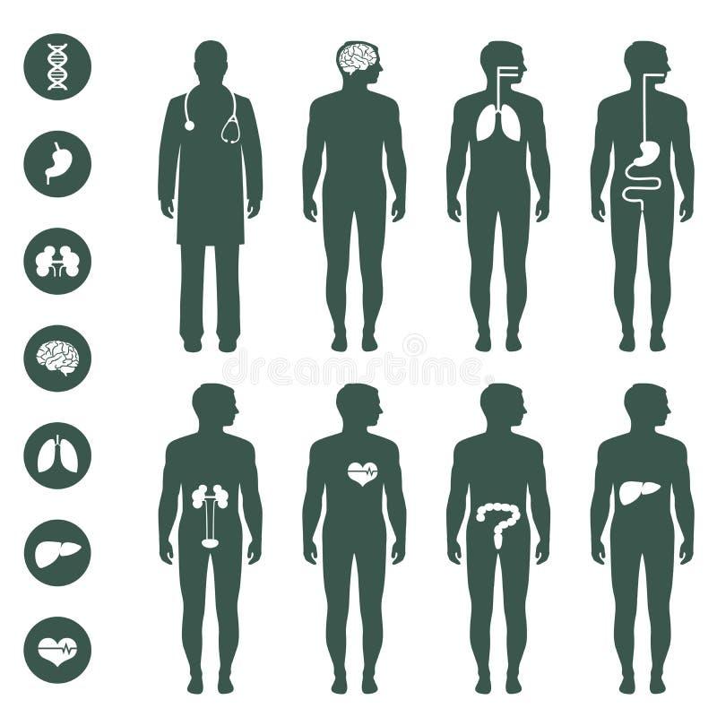 Anatomía del cuerpo humano ilustración del vector. Ilustración de ...