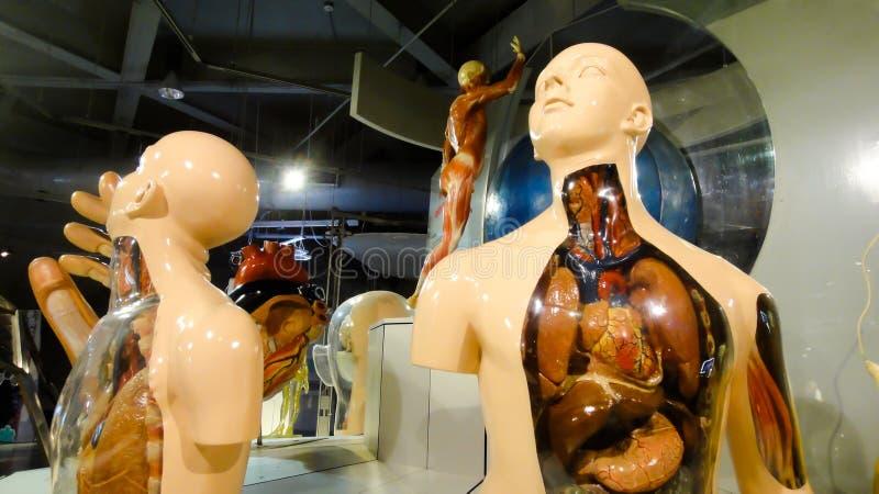 Anatomía del cuerpo humano imagenes de archivo