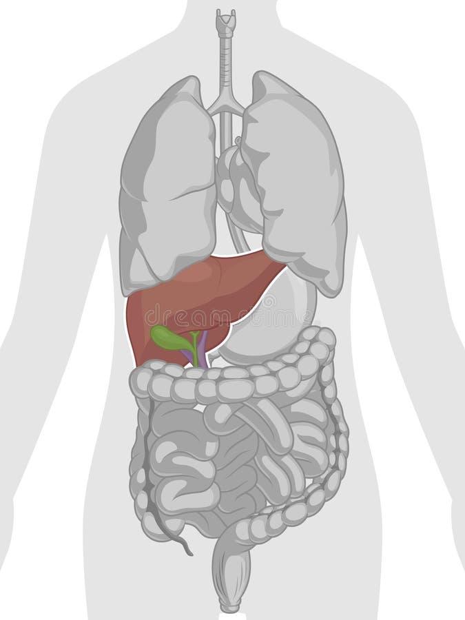 Anatomía Del Cuerpo Humano - Hígado Ilustración del Vector ...