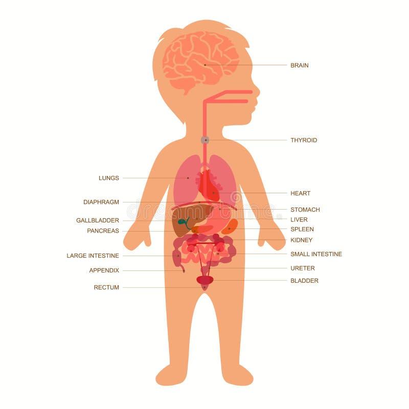 Anatomía Del Cuerpo Humano, Niño Ilustración del Vector ...