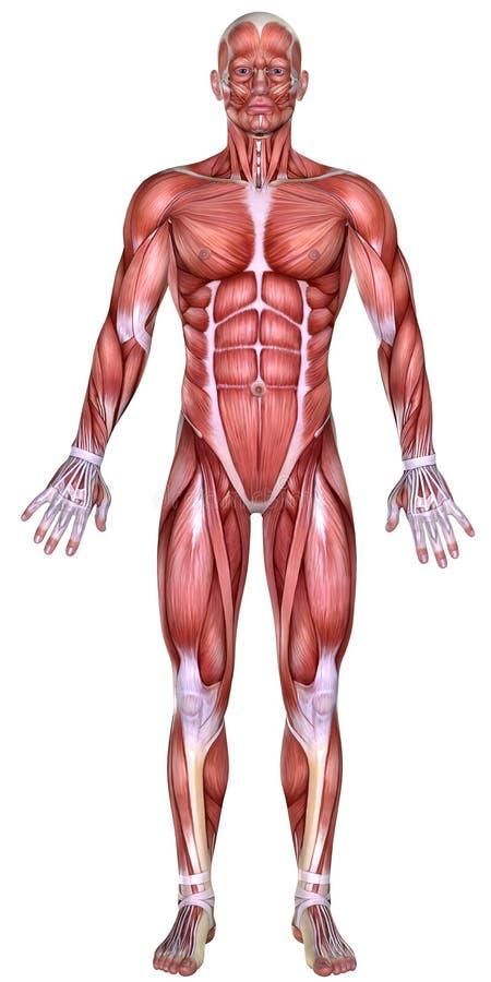 anatomía del cuerpo masculino 3d stock de ilustración