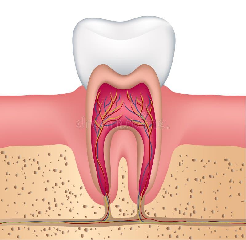 Anatomía del diente ilustración del vector