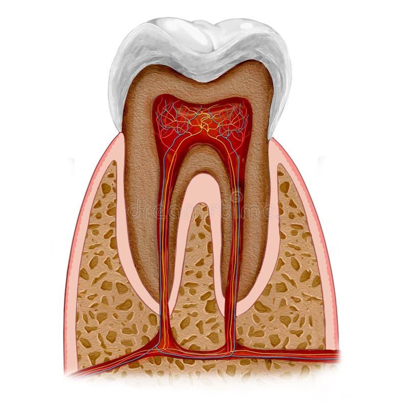 Anatomía del diente stock de ilustración