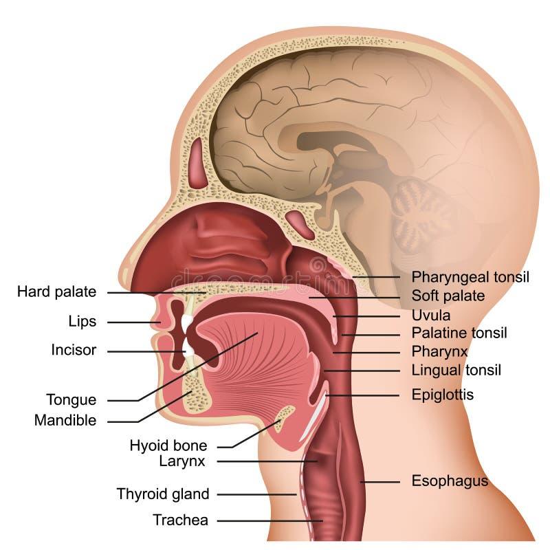 Anatomía del ejemplo médico de la boca y de la lengua en el fondo blanco stock de ilustración