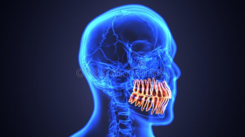Anatomía del esqueleto y de los dientes Ejemplo exacto médico 3D libre illustration