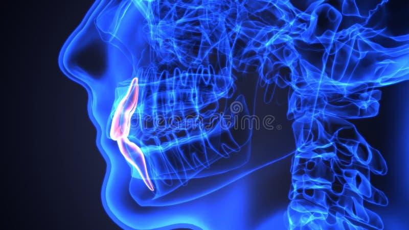 Anatomía del esqueleto y de los dientes Ejemplo exacto médico 3D ilustración del vector