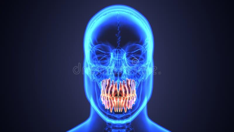 Anatomía del esqueleto y de los dientes Ejemplo exacto médico 3D stock de ilustración