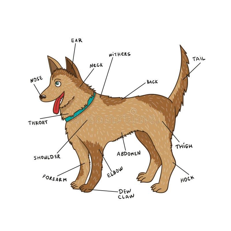 Anatomía Del Externo Del Perro Piezas Del Perrito En Inglés ...