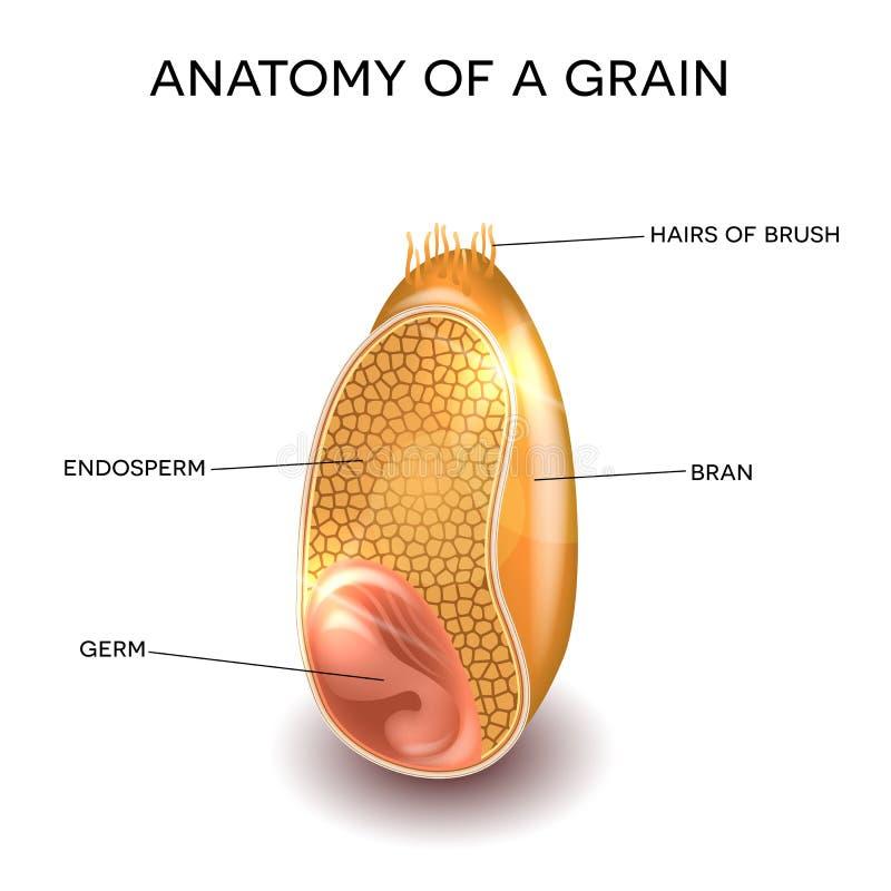 Anatomía del grano ilustración del vector. Ilustración de dieta ...