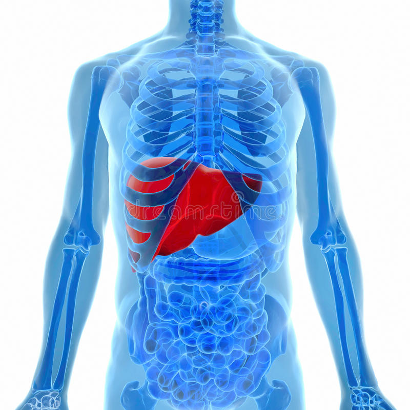 Anatomía del hígado humano en la opinión de la radiografía ilustración del vector