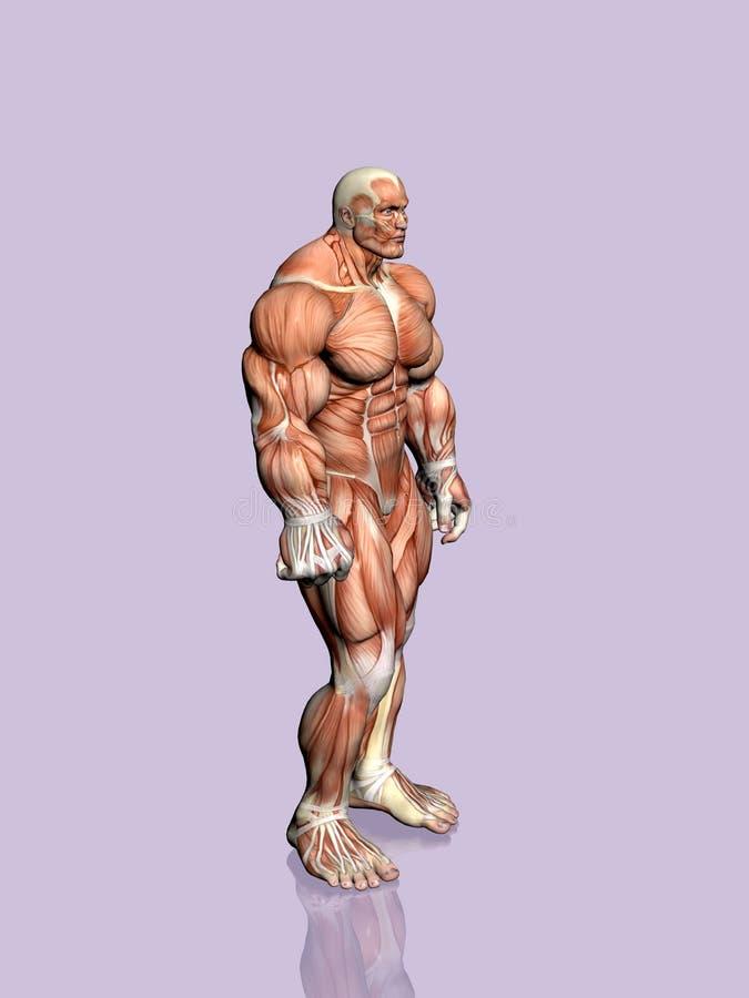 Download Anatomía del hombre. stock de ilustración. Ilustración de ilustración - 189241