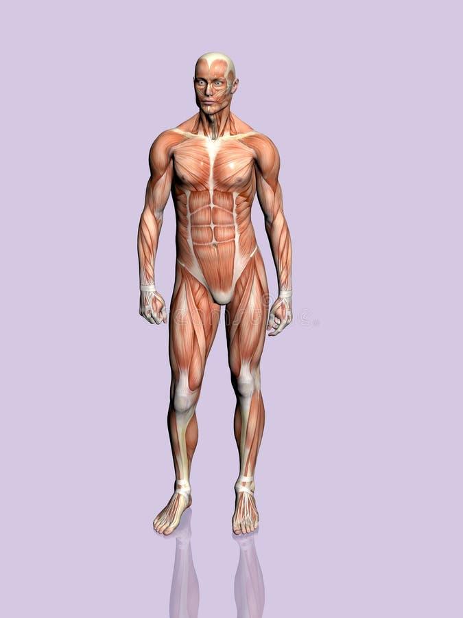 Download Anatomía del hombre. stock de ilustración. Ilustración de educación - 190199