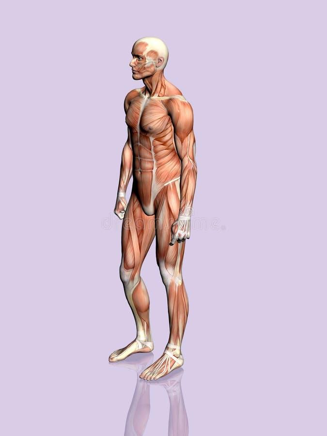 Anatomía del hombre. stock de ilustración