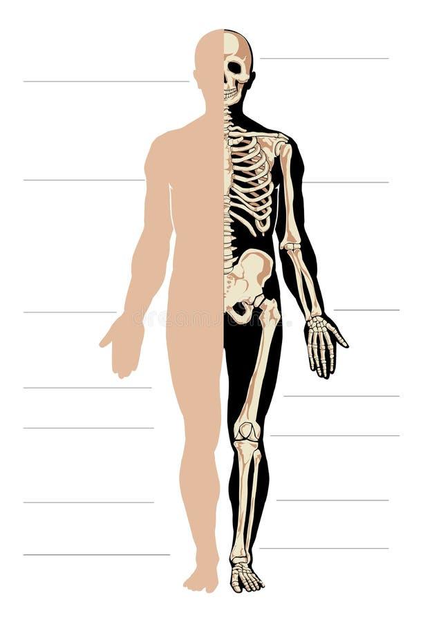 Lujoso Anatomía Del Hombre Del Esqueleto Inspiración - Imágenes de ...