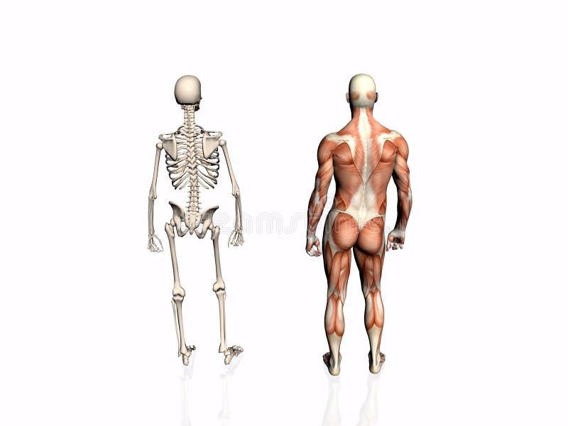 Download Anatomía Del Hombre Con El Esqueleto. Stock de ilustración - Ilustración de educación, muscular: 192980