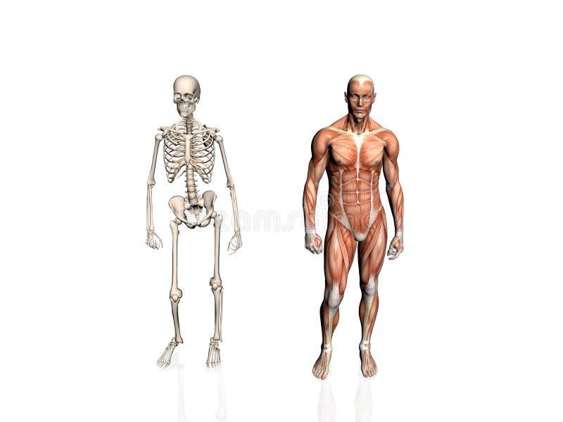 Download Anatomía Del Hombre Con El Esqueleto. Stock de ilustración - Ilustración de biología, masculino: 192981