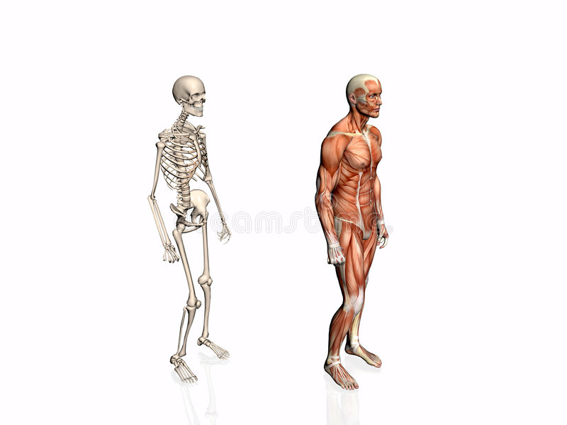 Download Anatomía Del Hombre Con El Esqueleto. Stock de ilustración - Ilustración de músculo, pierna: 192986