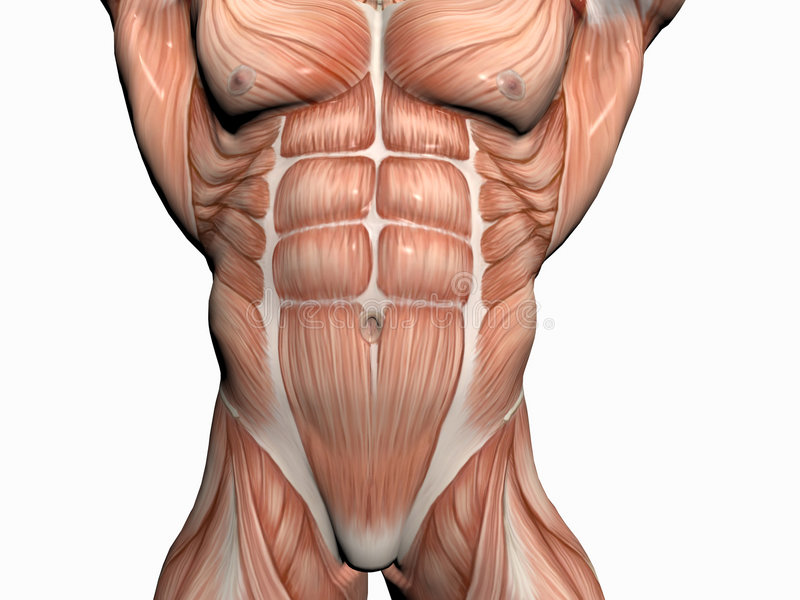 Download Anatomía Del Hombre, Constructor De Carrocería. Stock de ilustración - Ilustración de cabo, fondo: 193141