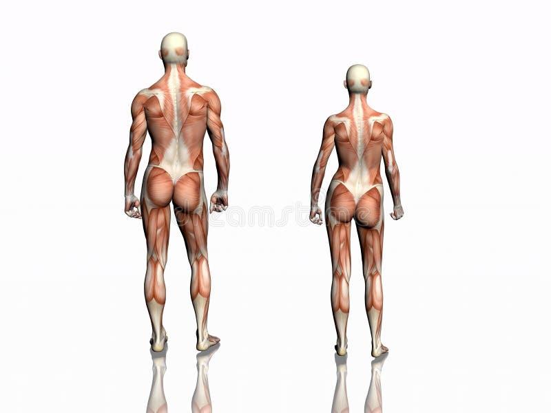 Anatomía del hombre y de la mujer. libre illustration
