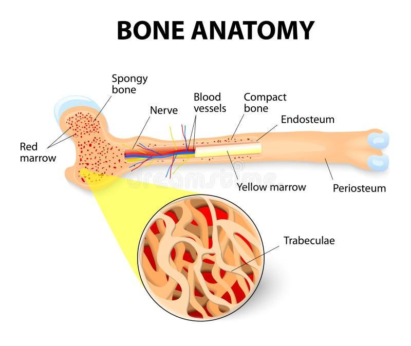 Anatomía del hueso ilustración del vector