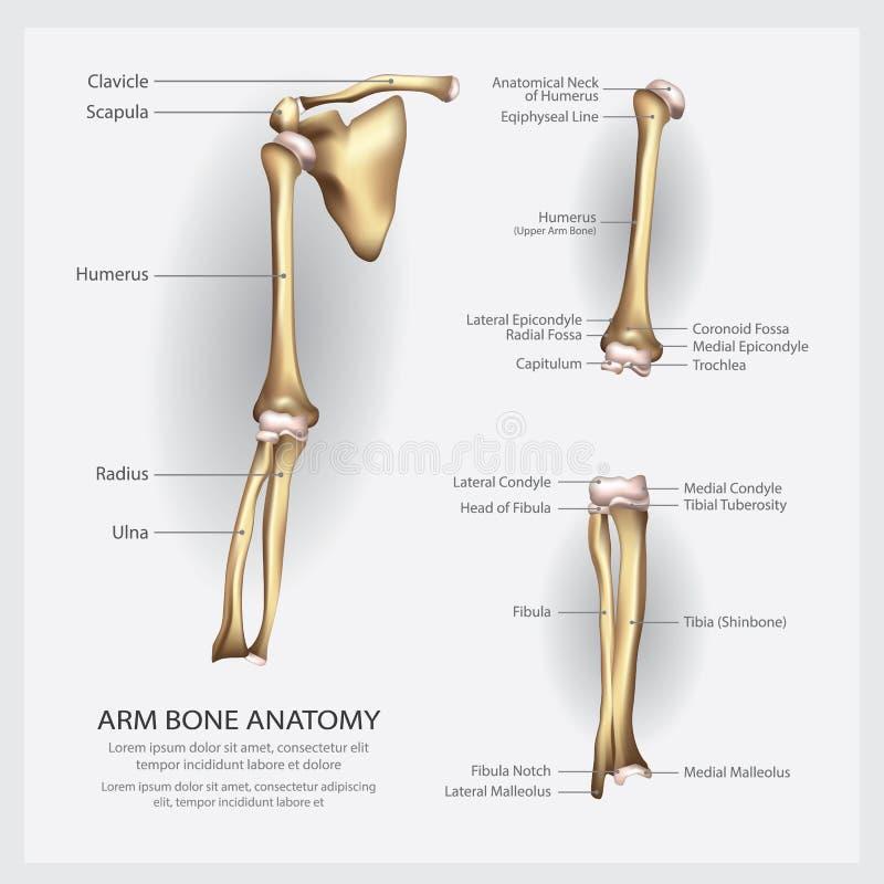 Anatomía del hueso de brazo con el detalle libre illustration