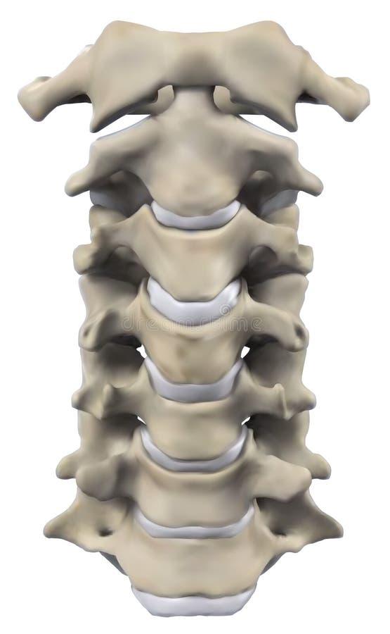 Anatomía Del Hueso De Cuello Stock de ilustración - Ilustración de ...