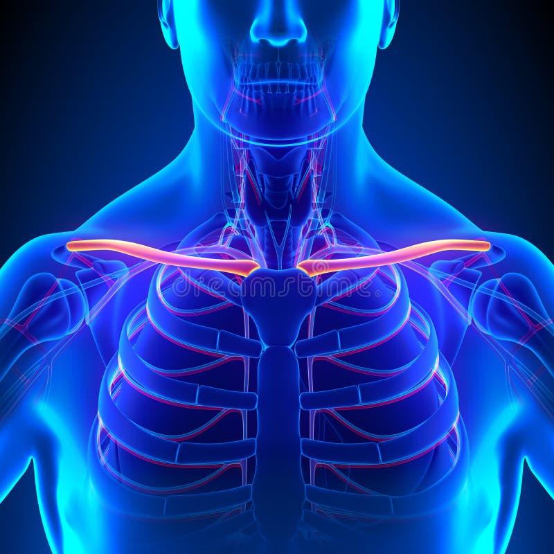 Anatomía Del Hueso De La Clavícula Con El Sistema Circulatorio Stock ...